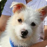 Dachshund Dog for adoption in Weston, Florida - Keebler