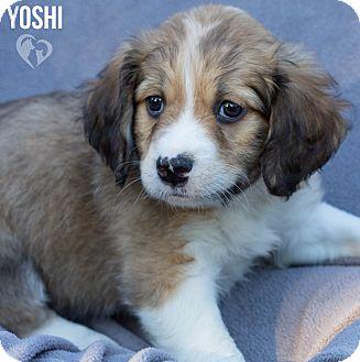 Beagle/Australian Shepherd Mix Puppy for adoption in Newport, Kentucky - Yoshi