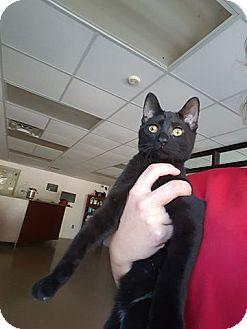 Domestic Shorthair Cat for adoption in Gadsden, Alabama - Ocean