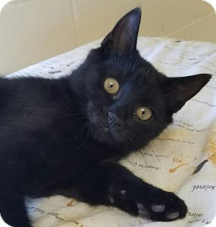 Domestic Shorthair Kitten for adoption in Havelock, North Carolina - Van Gogh
