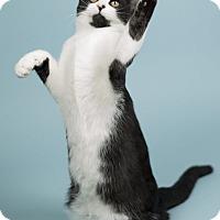 Adopt A Pet :: Jameson - Lombard, IL