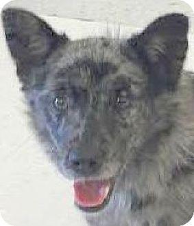 Australian Shepherd/Terrier (Unknown Type, Small) Mix Dog for adoption in MINNEAPOLIS, Kansas - Boston