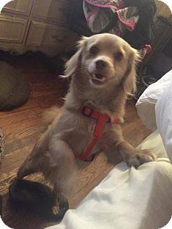 Pomeranian Dog for adoption in Washington, D.C. - Mugsy