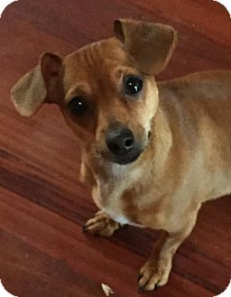 Chihuahua Mix Dog for adoption in Littleton, Colorado - Sailor