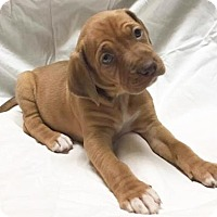 Adopt A Pet :: Primrose - Cary, NC