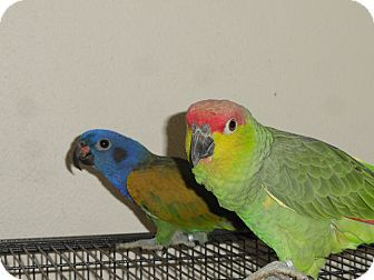 Pionus for adoption in Vancouver, Washington - Romeo & Juliet NeedANew Castel