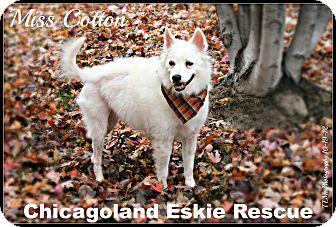 American Eskimo Dog Dog for adoption in Elmhurst, Illinois - Cotton