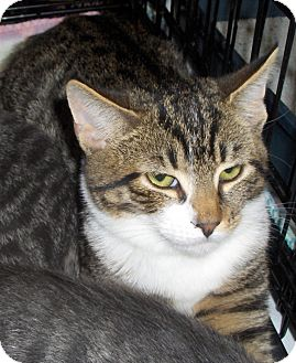 Domestic Shorthair Cat for adoption in Richmond, Virginia - Bonnie