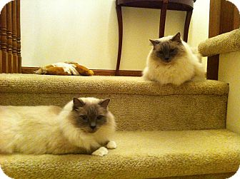 Ragdoll Cat for adoption in Sterling Hgts, Michigan - Reggae & Brazil ( 4 paw declaw