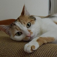 Calico Cat for adoption in Newtown Square, Pennsylvania - Emma