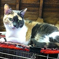 Domestic Shorthair Cat for adoption in Pasadena, California - MiMi