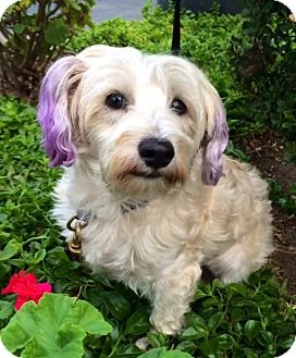 maltese rescue san diego san diego ca maltese mix meet bonnie a dog for adoption 7963