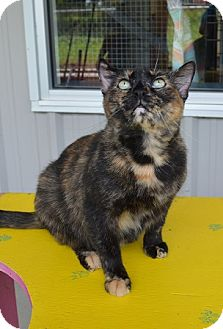 Domestic Shorthair Cat for adoption in New Iberia, Louisiana - Lorilyn