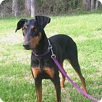 Adopt A Pet :: Kadie - Arlington, VA