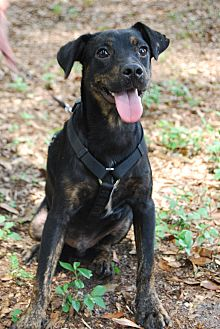 Terrier (Unknown Type, Medium) Mix Dog for adoption in Crawfordville, Florida - Tommie