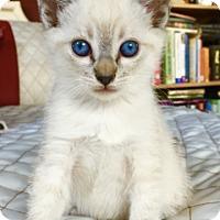 Adopt A Pet :: Ferrari - Mission Viejo, CA