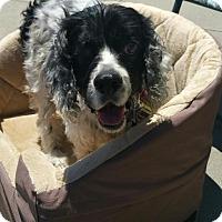 Cocker Spaniel Mix Dog for adoption in Alpharetta, Georgia - Becker