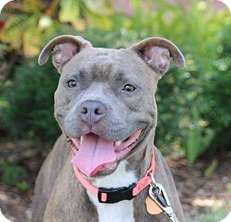 Boxer/American Bulldog Mix Dog for adoption in Ft. Myers, Florida - Callie