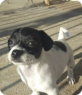 Terrier (Unknown Type, Small) Mix Puppy for adoption in Mission Viejo, California - MILLIE