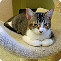 Domestic Shorthair Kitten for adoption in Fairfax, Virginia - Tyler