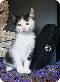 Domestic Shorthair Kitten for adoption in Muskegon, Michigan - Nicky