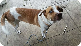 Beagle/Australian Shepherd Mix Dog for adoption in Schertz, Texas - Sinna MC