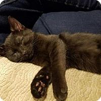 Adopt A Pet :: Midnight - Breinigsville, PA