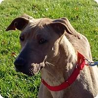 Great Dane/Shepherd (Unknown Type) Mix Dog for adoption in Huntley, Illinois - Savanna