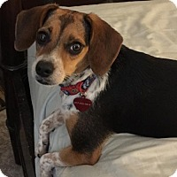 Beagle Mix Dog for adoption in Fort Worth, Texas - Pickles