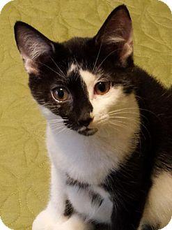Domestic Shorthair Kitten for adoption in Montreal, Quebec - Rachelle