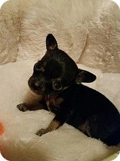 Chihuahua Mix Dog for adoption in Yreka, California - Odetta