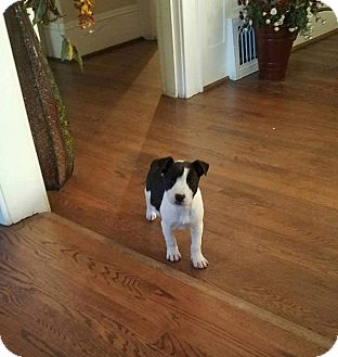 Pit Bull Terrier Mix Puppy for adoption in Fincastle, Virginia - Mary Ann