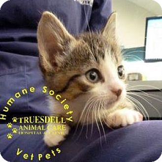 Domestic Shorthair Kitten for adoption in Janesville, Wisconsin - Frosty