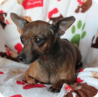 Dachshund/Chihuahua Mix Dog for adoption in Phelan, California - Violet
