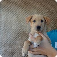Adopt A Pet :: Lilac - Oviedo, FL
