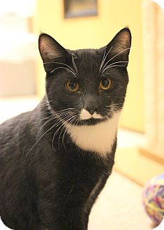 Domestic Shorthair Kitten for adoption in Carlisle, Pennsylvania - Adams
