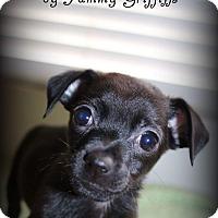 Adopt A Pet :: Chong - Lodi, CA