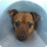 Adopt A Pet :: Pito - Las Vegas, NV