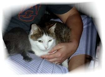Domestic Shorthair Cat for adoption in Montgomery, Illinois - Karma