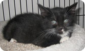 American Shorthair Kitten for adoption in Dallas, Texas - Tazz