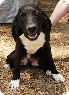 Beagle Mix Dog for adoption in Plainfield, Connecticut - Goober