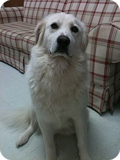 Great Pyrenees Mix Dog for adoption in East Hartford, Connecticut - Wrigley ADOPTION PENDING