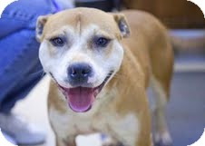 Staffordshire Bull Terrier Mix Dog for adoption in Loudonville, New York - Polly