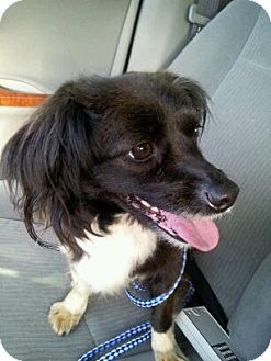 Dachshund/Schipperke Mix Dog for adoption in Chicago, Illinois - KHLOE