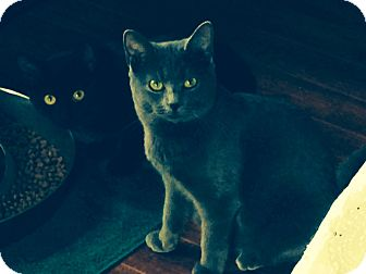 Russian Blue Cat for adoption in Mount Laurel, New Jersey - Noelle