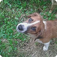 Adopt A Pet :: Pepsi - Harrisburgh, PA