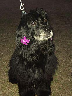 Cocker Spaniel Dog for adoption in Cranston, Rhode Island - Tanya