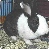 Adopt A Pet :: Petunia Rabbit - Tinton Falls, NJ
