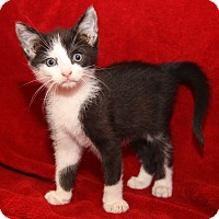 Domestic Shorthair Kitten for adoption in Marietta, Ohio - Sylvester (Neutered)