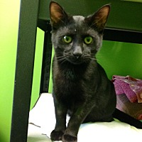 Domestic Shorthair Cat for adoption in Barnwell, South Carolina - Crispie Cole